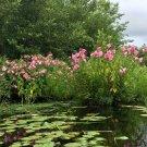 Wild Hibiscus Swamp Rose Hardy Hibiscus Moscheutos - 20 Seeds