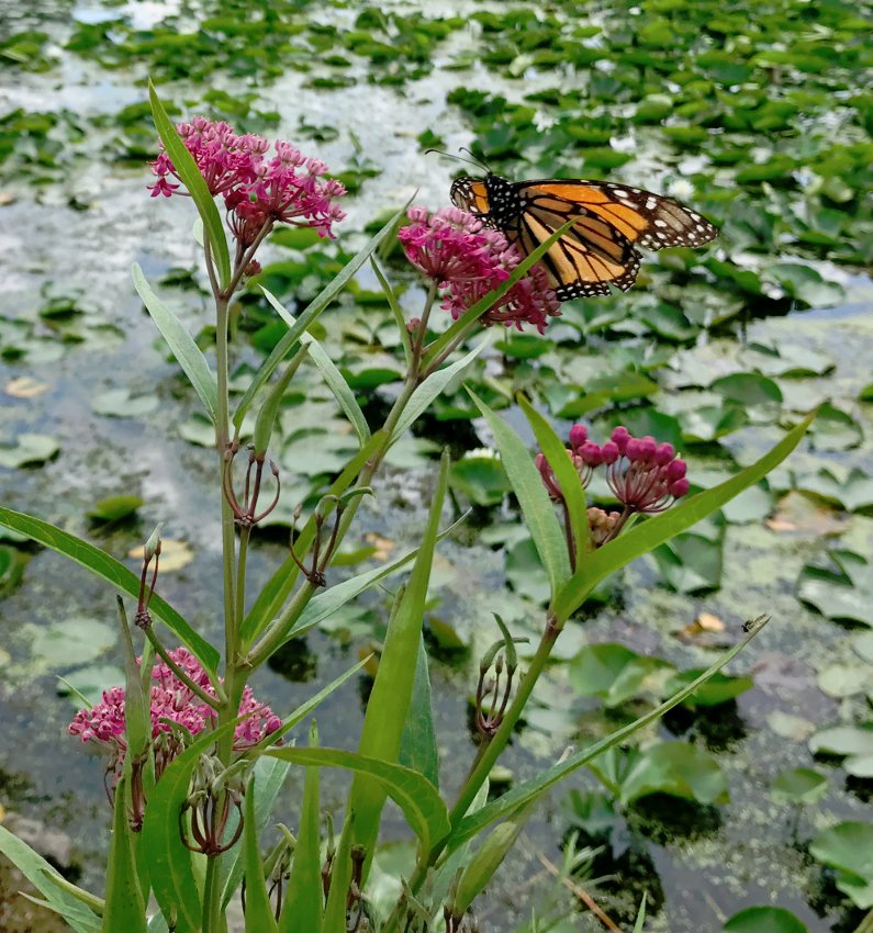 Pink Swamp Butterfly Milkweed Asclepias Incarnata - 30 Seeds