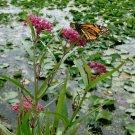 Pink Swamp Butterfly Milkweed Asclepias Incarnata - 30 Seeds