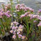 Aquatic Wild Sea Aster Rare Aster pannonicus - 20 Seeds