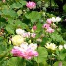 Edible Lotus Sacred Water Lily Nelumbo nucifera - 4 Seeds