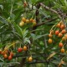 Rainforest Kangaroo Apple Solanum aviculare - 10 Seeds