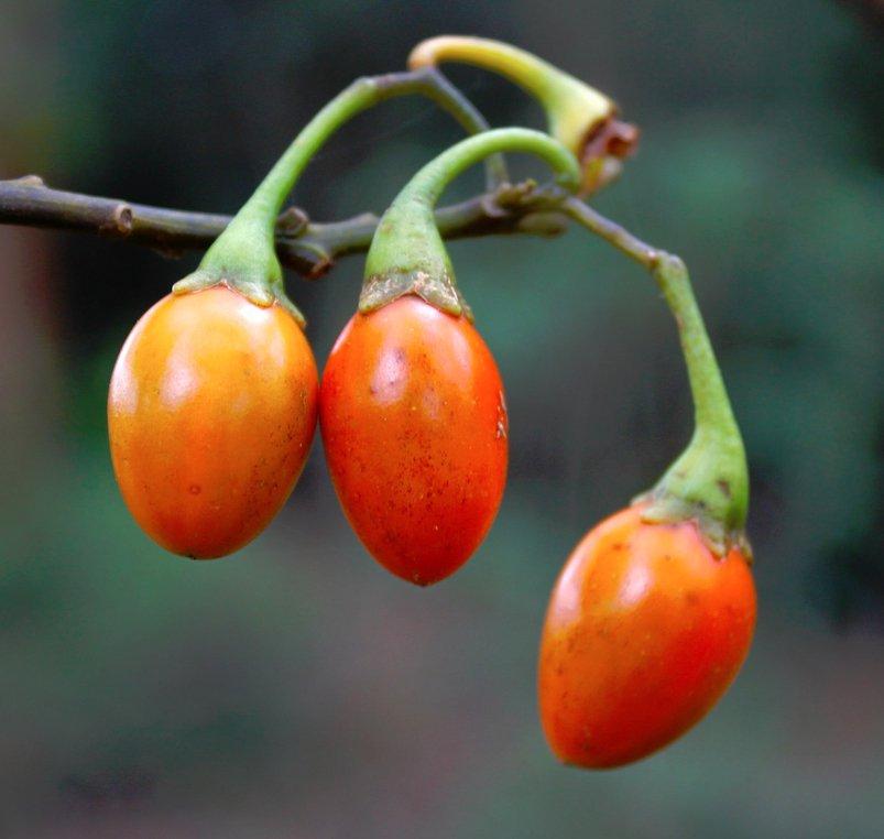 Rare Kangaroo Apple Solanum aviculare - 10 Seeds