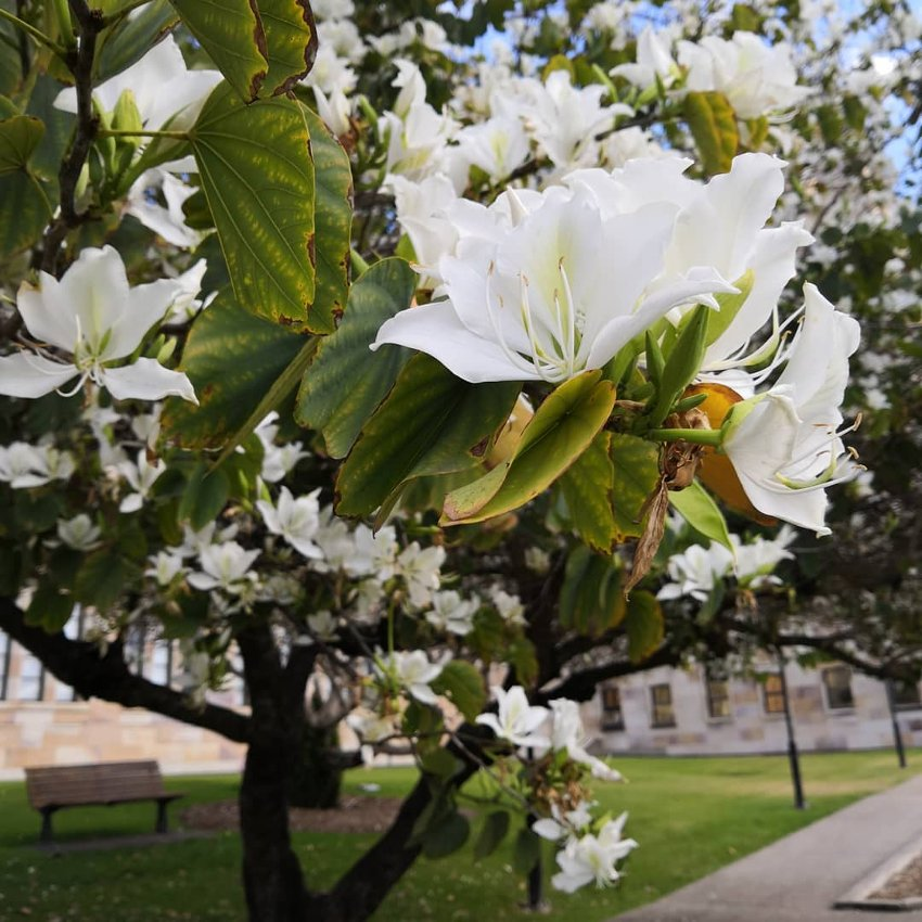 Beautiful Camels Foot Tree White Bauhinia variegata candida - 10 Seeds