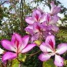 Exotic Camels Foot Tree Purple Bauhinia purpurea - 10 Seeds