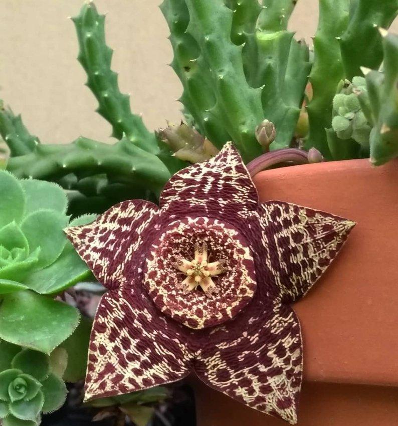 Unusual Succulent Starfish Cactus Stapelia Orbea variegata - 15 Seeds