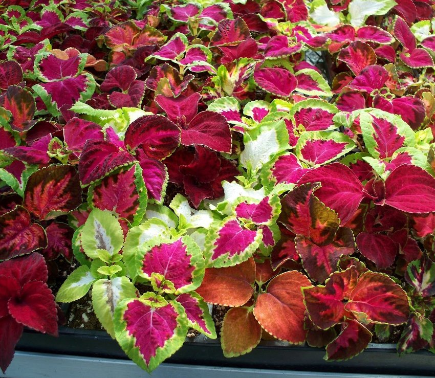 Vibrant Colors Coleus Mix Coleus blumei - 50 Seeds