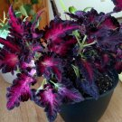 Dramatic Coleus Black Dragon Solenostemon scutellarioides - 25 Seeds