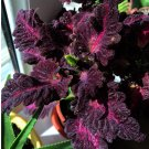 Dark Coleus Black Dragon Solenostemon scutellarioides - 25 Seeds