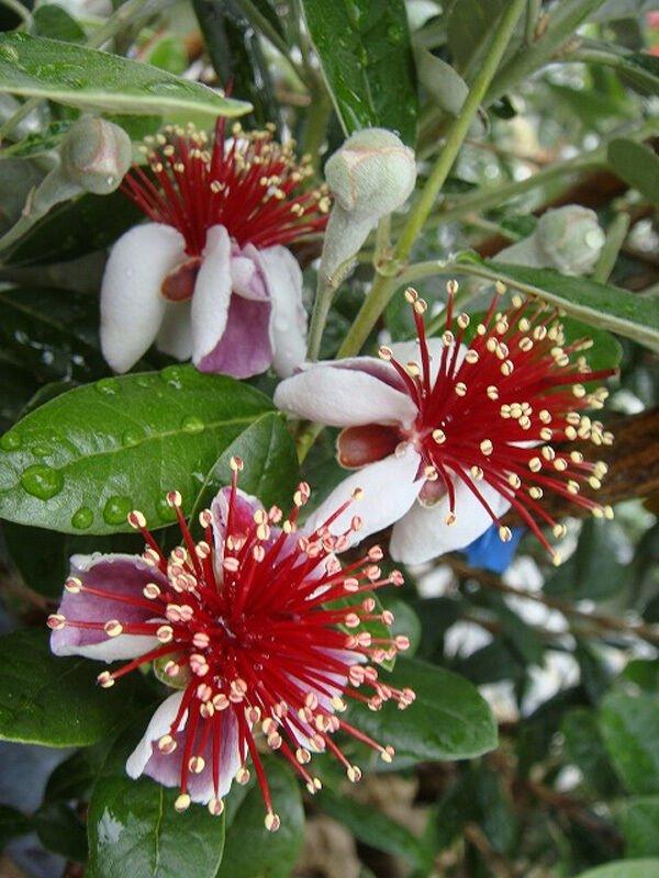 Hardy Pineapple Guava Feijoa Acca Sellowiana - 15 Seeds