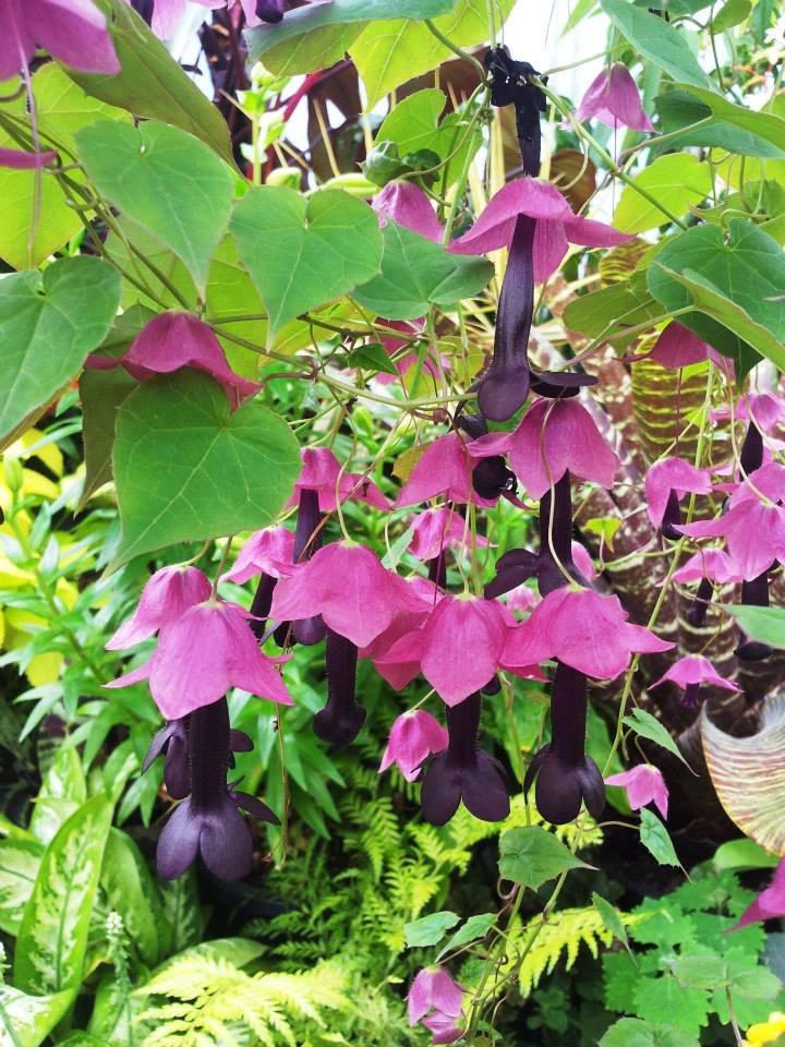 Purple Rain Flower Vine Rhodochiton atrosanguineum Rare - 8 Seeds