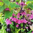 Purple Rain Flower Vine Rhodochiton atrosanguineum Rare - 8 Seeds