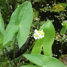 Aquatic Broad Leaved Arrowhead Wapato Duck Potato Sagittaria latifolia - 250 Seeds