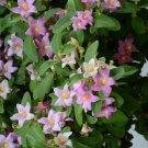 Pink Norfolk Island Hibiscus Lagunaria patersonia - 5 Seeds