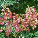 Spectacular Chinese Flame Tree Koelreuteria bipinnata - 10 Seeds