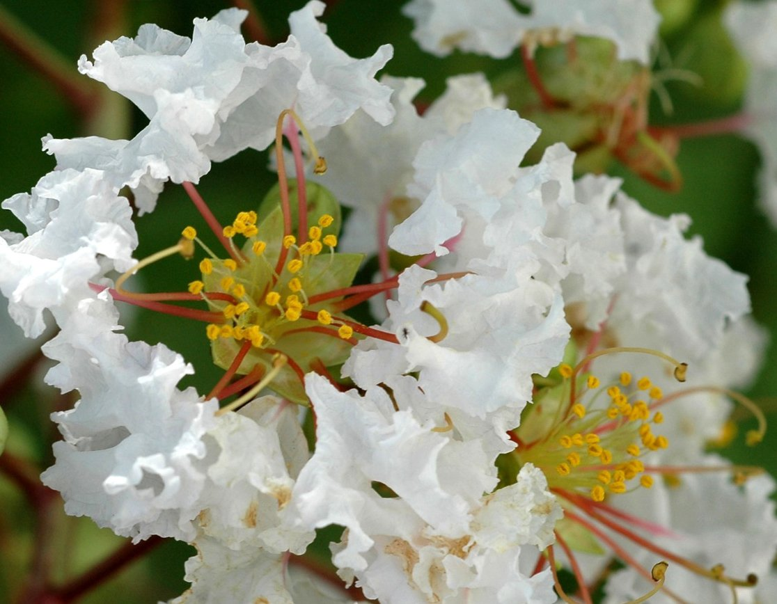 Cuttings! White Crape Myrtle Lagerstroemia indica - 5 Unrooted Cuttings