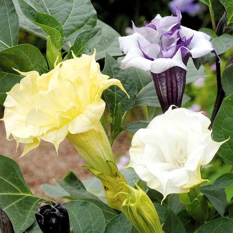 Purple White Yellow Mix Filled Ruffled Datura - 20 Seeds