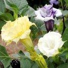 Purple White Yellow Mix Filled Ruffled Datura - 20 Seeds