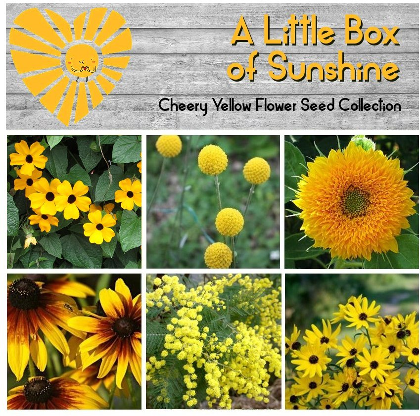 A Little Box of Sunshine Yellow Flower Seed Collection - 6 Varieties