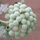 Unusual Moon Carrot Seseli gummiferum - 20 Seeds