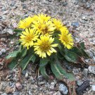 Rare Stemless Inula Rock Sunflower Himalayan Inula rhizocephala  - 30 Seeds