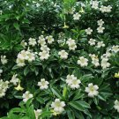 Unusual Rare Perfume Flower Bush Fagraea Ceilanica - 25 Seeds