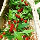 Unique Strawberry Goosefoot Blitum capitatum - 80 Seeds