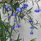 Dainty Bluebell Vine Sollya Billardiera heterophylla Rare - 10 Seeds