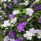 Yesterday Today and Tomorrow Brunfelsia floribunda - 15 Seeds