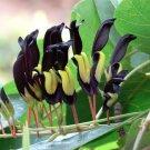 Black Coral Pea Vine Kennedia nigricans  - 8 Seeds
