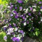 Yesterday Today and Tomorrow Brunfelsia Pauciflora floribunda - 15 Seeds