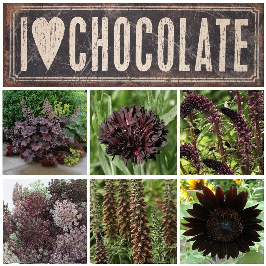 Unique Chocolate Flower Garden Seed Collection 6 Varieties