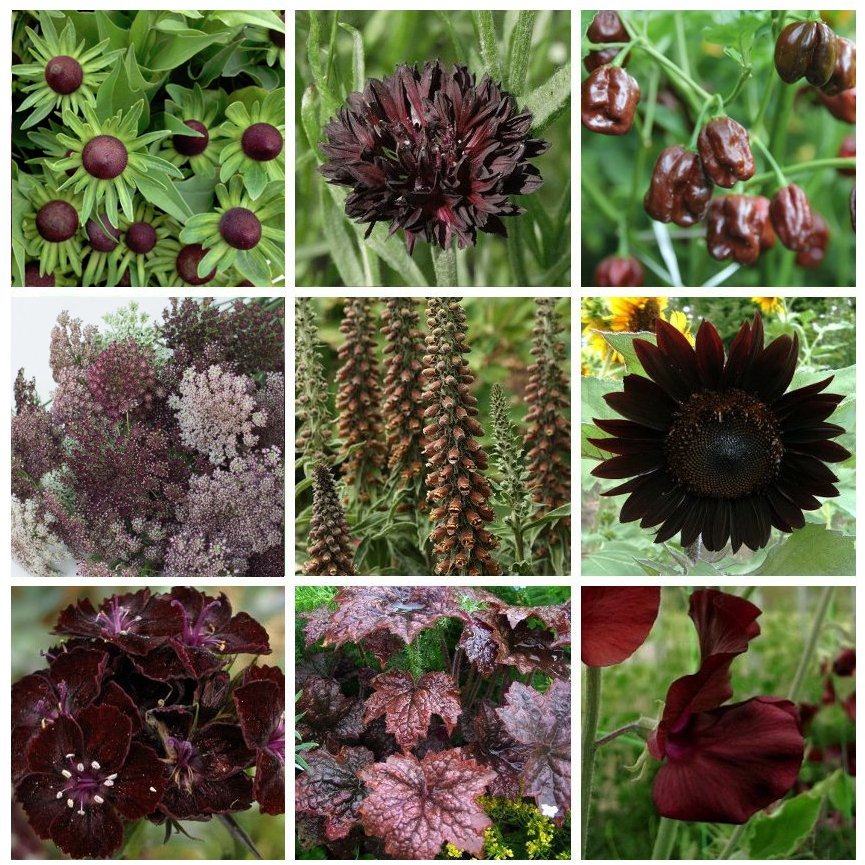 Unique Chocolate Shades Monochromatic Garden Flower Seed Collection - 9 Varieties