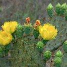 Mexican Xoconostle Cactus Opuntia matudae - 20 Seeds