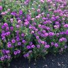 Wild Hardy Desert Four O'Clock Mirabilis Multiflora - 8 Seeds