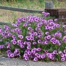 Hardy Bush Morning Glory Ipomoea leptophylia - 8 Seeds