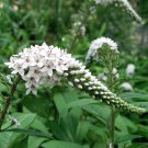 Lady Jane White Gooseneck Loosestrife Lysimachia clethroides - 25 Seeds