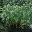 Cuttings! Pond Plant Umbrella Palm Cyperus alternifolius - 8 Unrooted Cuttings