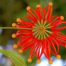Rare Firewheel Tree Stenocarpus Sinuatus - 5 Seeds