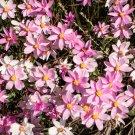 Unusual Everlasting Pink Cluster Star Schoenia cassiniana - 10 Seeds