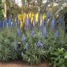 Blue Pride of Madeira Echium fastuosum - 40 Seeds