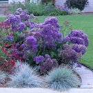 Purple Sea Lavender Perez's Limonium perezii - 20 Seeds