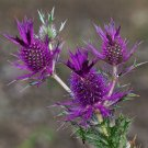 Purple Leavenworth's Eryngo Unique Eryngium leavenworthii - 20 Seeds