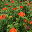 Red Mexican Sunflower Tithonia rotundifolia Torch - 100 seeds