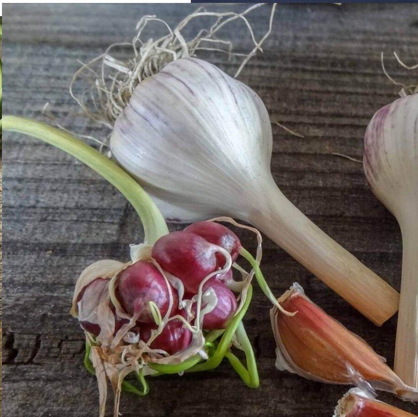Rare Rocambole Curled Serpent Garlic Land Leek Allium sativum var. ophioscorodon - 8 Bulbils
