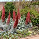 Unique Red Tower of Jewels Echium wildpretii - 20 Seeds