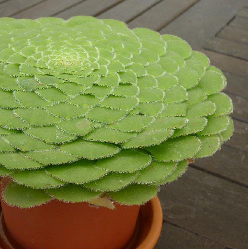 Rare Flat Top Dinner Plate Succulent Aeonium tabuliforme - 20 Seeds