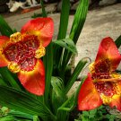 Mexican Tiger Flower Tigridia pavonia - 20 Seeds