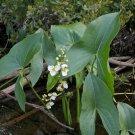 Pond Aquatic Arrowhead Sagittaria latifolia - 250 Seeds
