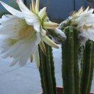 Cold Hardy Column Cactus San Pedro Trichocereus Pachanoi - 20 Seeds